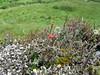 Lichen 'forest' (Cladonia spp) (Philip_Goddard) Tags: lichens cladonia redapothecia fertile southwestengland england unitedkingdom britain british britishisles greatbritain uk europe