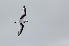 Ross' Meeuw - Rhodostethia rosea - Ross' Gull (merijnloeve) Tags: ross meeuw rhodostethia rosea gull vlissingen zeeland rare dutchbirding birdwatching birding vogels kijken