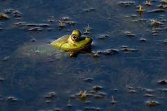 Head Above Water (RoosterMan64) Tags: amphibian debarawewalake frog frogs nature srilanka tissamaharama wildlife