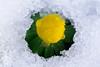 spring is coming (ingoal18) Tags: yellow flower blume gelb grün weiss ice eis schnee snow macro makro marumi nikkor 105mm 28 afd micro beautiful