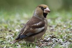 Kernbeiser (reipa59) Tags: nature natur bird vogel hawfinch kernbeiser ransweiler rheinlandpfalz