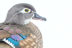 Wood Duck Hen Portrait In Snow (Matt F.) Tags: portrait woodduck