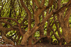 Tangled trees Sheffield Park Uckfield... (Meon Valley Photos.) Tags: sheffield park uckfield national trust ngc