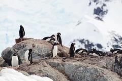 Brown_2017 12 11_2782 (HBarrison) Tags: harveybarrison hbarrison antarctica antarcticpeninsula paradiseharbor brownstation gentoopenguin taxonomy:binomial=pygoscelispapua arctic antarctic arcticantarctic