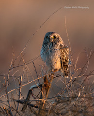Short Eared Owl (stephenwalshphoto) Tags: