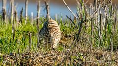 Burrowing Owl (Bob Gunderson) Tags: alamedacounty arrowheadmarsh athnecunicularia birds burrowingowl california eastbay northerncalifornia owls