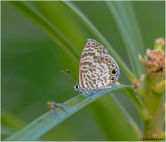 Cassius Blue (Summerside90) Tags: butterflies skippers insects cassiusblue nature wildlife manzanillo cuba