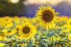 GRADISCA D'ISONZO. CAMPO DI GIRASOLI (FRANCO600D) Tags: photoshop bokeh fvg friuli friuliveneziagiulia campo colori giallo yellow canon eos600d sigma franco600d gradisca gradiscadisonzo