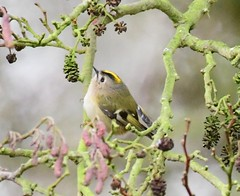 Goldcrest (Regulus regulus)  - Taken at Sywell Country Park, Sywell, Northamptonshire. UK (Ian J Hicks) Tags: