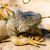 _DSC2850-Edit.jpg (Moshe Ovadya) Tags: colorefexpro emount ngc iguana nature animals nikcollection sonyα6300 photoshop sonysel55210e55–210mmf4563oss ixtapa mexico cocodrilarioplayalinda ilce6300 sel55210 sony a6300 crocodilefarm e estuary lizard guerrero mx