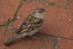 IMG_4814 (Lightcatcher66) Tags: spatzensparrows florafauna makros lightcatcher66