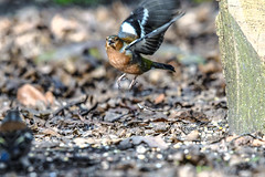 the power of the wing beat (Paul Wrights Reserved) Tags: bird birding birds birdphotography birdwatching birdinflight power lift thrust chaffinch