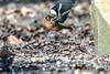 the power of the wing beat (Paul Wrights Reserved) Tags: bird birding birds birdphotography birdwatching birdinflight power lift thrust chaffinch