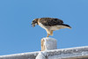 Red-tailed Hawk grabs a meal, devours it whole (TonysTakes) Tags: redtailedhawk hawk raptor bird colorado wildlife coloradowildlife weldcounty