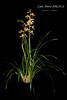 Cymbidium Doris AM/AOS (Orchidelique) Tags: nature plant flower exotic orchid hybrid cymbidium cym doris insigne tracyanum britishembassy am ncjc aos