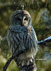 DB7_8840 (DouglasJBrown) Tags: barredowl djbphoto birdsinbc owl nature nikonafsnikkor300mmf28gedvrii wings eyes