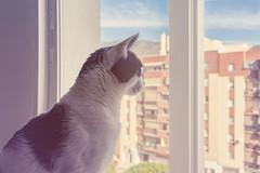 Dia Internacional del Gato (Rafi Moreno) Tags: gato rafi canon interior pet animales felino vintage retro hipster pale oreo cat