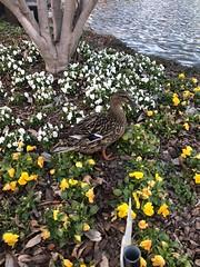 c2018 Feb 20, Ducks @ The Island Pigeon Forge, TN (King Kong 911) Tags: ferrieswheel icecream statues christmas balls fountain clouds ducks mellowmushroom pauladeans flowers music
