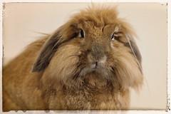 Dusty (Pog's pix) Tags: dusty pet animal rabbit bunny houserabbit indoors closeup portrait fluffy tufty menace pest