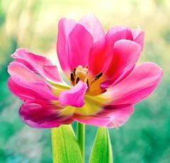 Sunshine and a little Pink (barbara_donders) Tags: nature natuur flower bloem pink roze mooi prachtig beauty beautifull magical spring macro lente bokeh