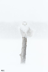 ''Mirage!'' Harfang des neiges-Snowy owl (pascaleforest) Tags: oiseau bird animal owl hibou passion nikon nature neige snow tempête winter hiver wild wildlife québec canada mirage faune snowyowl