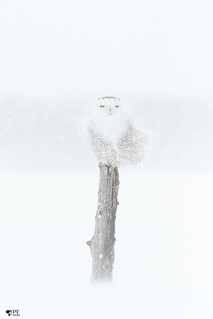 ''Mirage!'' Harfang des neiges-Snowy owl
