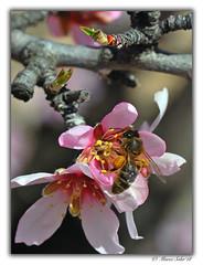 Atracón (© Marco Antonio Soler ) Tags: nikon d80 jpg hdr iso macro micro abeja miel bee almendro almond en flor flora flower honey jijona xixona alicante alacant 2018 18