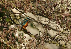 endcliffe park kingfisher sheffield 2018 (14) (Simon Dell Photography) Tags: endcliffe park bingham whitley woods forge dam kingfisher bird rare blue orange winter spring grey animal nature together wildlife sheffield botanical gardens simon dell photography 2018 feb 24 sunny detail high res perched sitting fishing