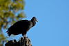 Black vulture (justkim1106) Tags: blackvulture vulture bird animal wildlife nature bluesky bokeh naturebokeh texaswildlife
