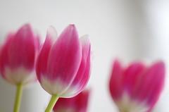 When the winter it's outside (Baubec Izzet) Tags: baubecizzet pentax flower tulips bokeh