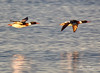 Red-Breasted Mergansers (Chris Parmeter Photography) Tags: redbreasted mergansers birds flying nature water washington morning canon 5dsr 500mm 2x tc mergusserrator
