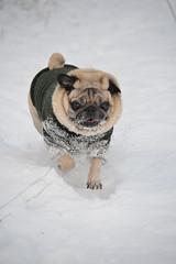 Snow Bear (kanefairless) Tags: pug dog animal snow