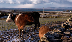Are those my feet? (ClassicAngles) Tags: portrait bullock nikon winter ireland snow2018 heifer sneachta stormemma donegalbay ballyshannon head march cows classicangles untwinemeireland theross nikond3400 snow tamron24to70 donegal landscape nikkor countydonegal ie