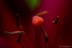 Floral Boudoir? (Lookfar) Tags: flower tulip anther stamen pollen red