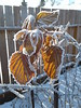 20180104_131242 (CSCandE) Tags: raspberry frost winter