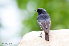 Black Redstart 20170503 6 (SueWright2013) Tags: animals birds blackredstart flycatchers oldworldflycatchers