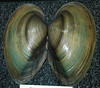 Pyganodon grandis (giant floater) (James St. John) Tags: pyganodon grandis giant floater bivalve bivalves shell shells clam clams