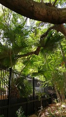 12 Green (adrianbridle43) Tags: fan tree fence bowe lush gold coast queensland