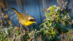 Common Yellowthroat (Bob Gunderson) Tags: alamedacounty arrowheadmarsh birds california commonyellowthroat eastbay northerncalifornia warblers woodwarblers geothlypistrichas