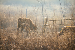 Sunny winter morning (Inka56) Tags: cow fence meadow 7dwf fauna
