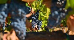 Raisins (GerardMarsol) Tags: france feuilles vignes raisins vin rosédeprovence rouge grappe
