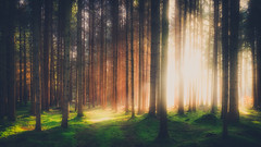 ʜᴀʟᴏ (der_peste) Tags: forest light sunlight trees forestscape woods rays sunrays sunbeam raysoflight sunrise atmospheric moody mood strange