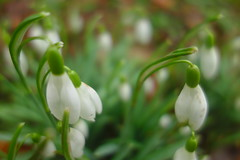 Snowdrop Time (Dave Roberts3) Tags: newport wales gwent park bellevue snowdrop galanthus