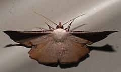 Brown Geometrid Moth Cernia amyclaria Oenochrominae Geometridae Airlie Beach rainforest P1250702 (Steve & Alison1) Tags: brown geometrid moth cernia amyclaria oenochrominae geometridae airlie beach rainforest