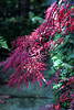 Acer - Japanese Maple - red IMG_2337crp15 (CDfolia) Tags: garden 2017 september autumn scotland acer japanesemaple