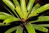 Vriesea platynema (Fatima Sandrin) Tags: 2018 bauru brasil brazil fátimasandrinfotografia jbmb jardimbotânico jardimbotânicomunicipaldebauru conservação documentação fotografia pesquisa ©2018fátimasandrin