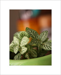Foliage Detail (Mohan S Bhat) Tags: texture leaves green garden plant indoorplant foliage pattern