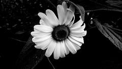 Stokrotka B&W. (andrzejskałuba) Tags: polska poland pieszyce dolnyśląsk silesia sudety europe panasoniclumixfz200 roślina plant kwiat flower stokrotka daisy pole field natura nature monochrome bw 100v10f