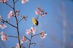 _DSC0818.jpg (plasticskin2001) Tags: mejiro sakura flower bird