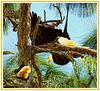 American Bald Eagles (NancySmith133) Tags: americanbaldeagle breedingandnestingseason thecitybeautiful greenwoodcemetery centralfloridausa